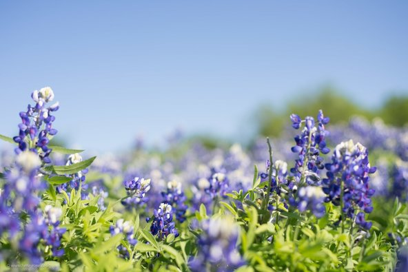 Texas Bluebonnets 2017 -- Turkey Bend, 30 miles outside of Austin on the Colorado River